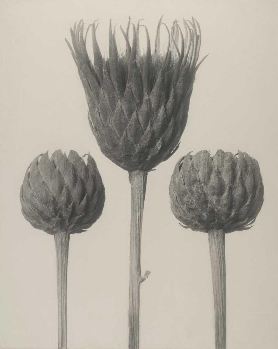 Serratula nudicaulis