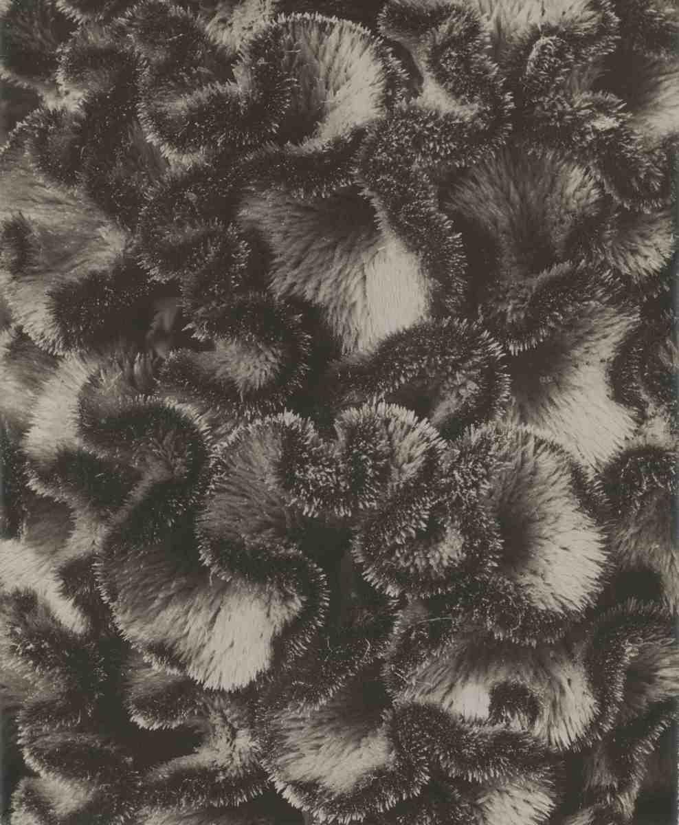 Celosia argentea var cristata