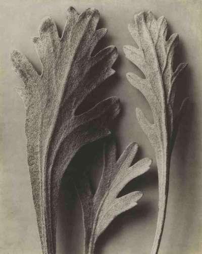 Achillea clavennae