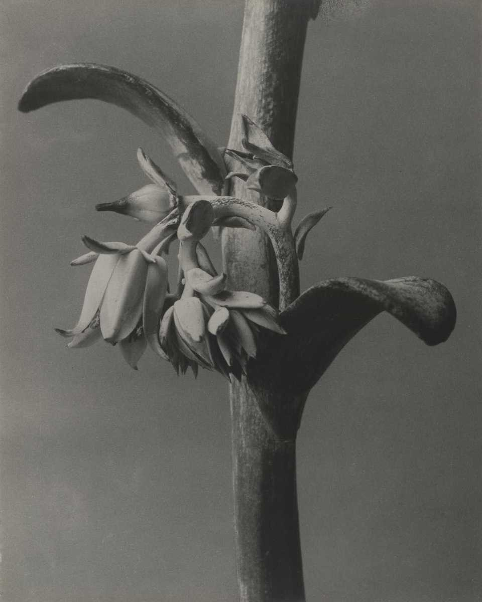 Cotyledon gibbiflora
