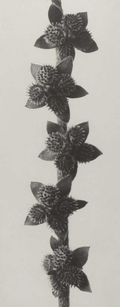 Cynoglossum furcatum