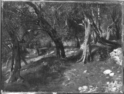 Olivenbäume bei Torbole