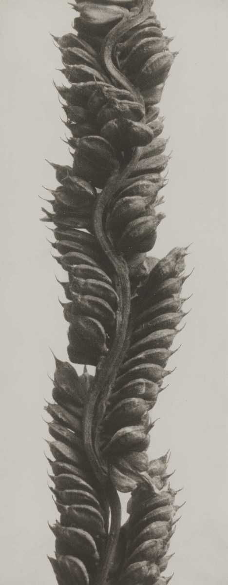 Beckmannia eruciformis