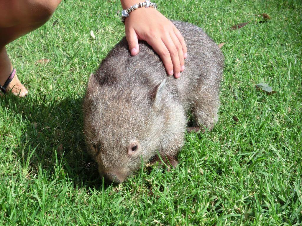 Babywombat