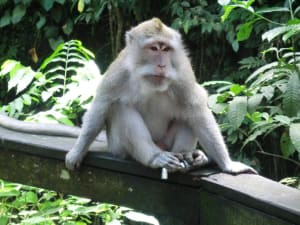 Affe im Monkey Forest