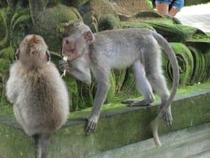 Äffchen im Monkey Forest
