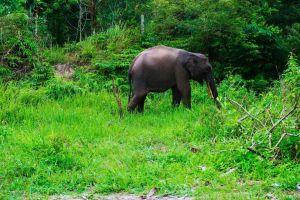 Elefanten auf Sumatra