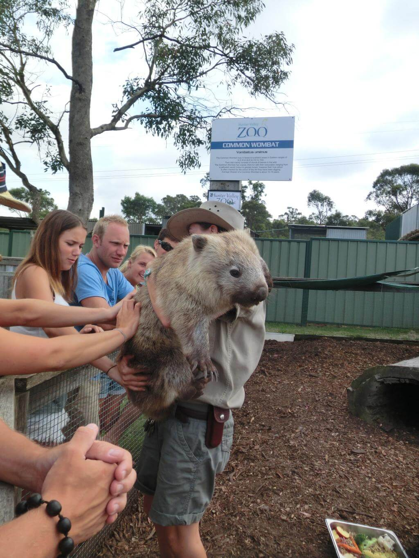 Ausgwachsenes Wombat