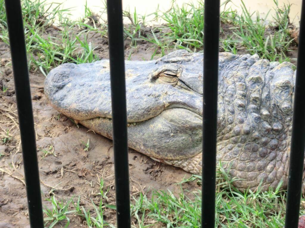 Glücklicher Aligator