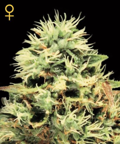 mostly indica: Super Bud