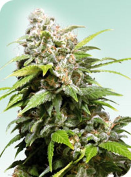 Mostly Indica: Californian Indica