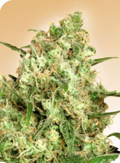 Featured Image of Maple Leaf Indica