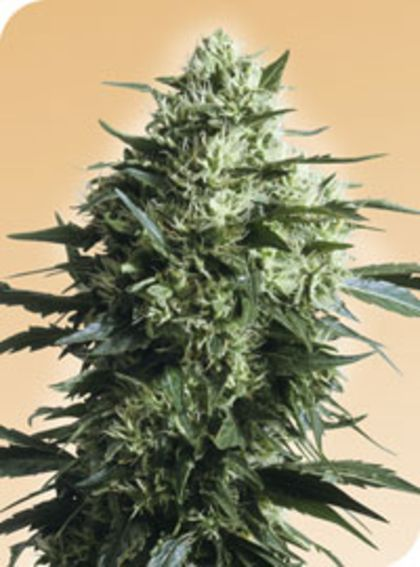 Mostly Sativa: Mother'S Finest