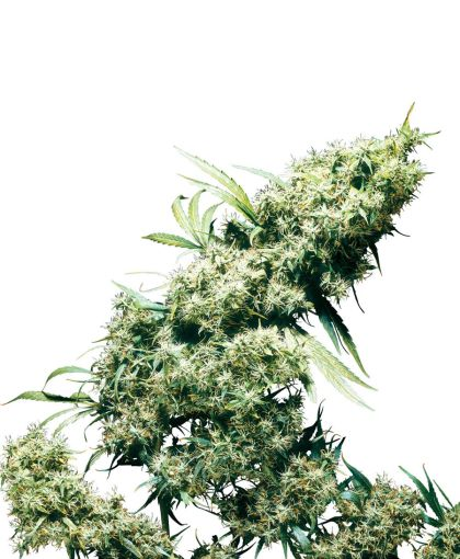 Mostly Sativa: Jamaican Pearl