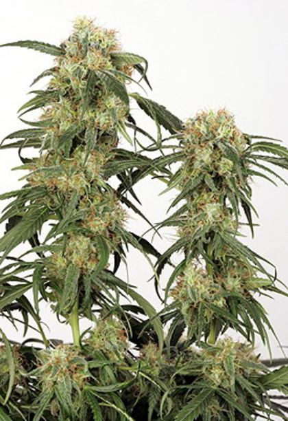 Mostly Indica: Pamir Gold