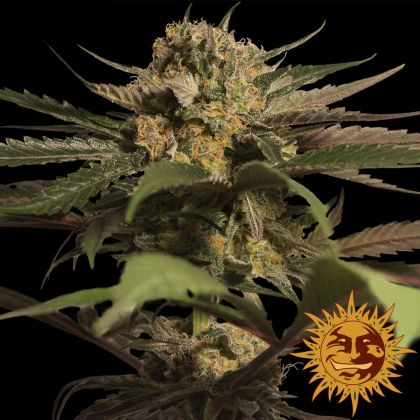 Featured Image of Violator Kush