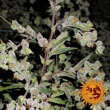 Sativa: Dr Grinspoon