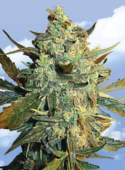 Indica / Sativa: Power Skunk