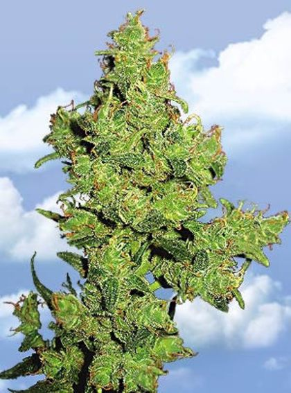Indica / Sativa: Flying Dragon
