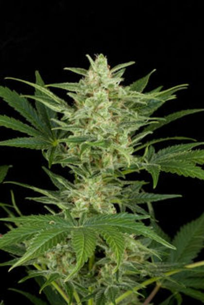 Indica / Sativa: Critical Jack Automatic