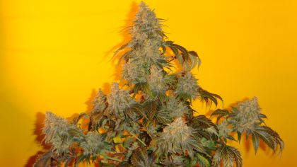 Mostly Indica: Old Time Indiana Bubble Gum