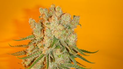 Mostly Indica: Blue Fin