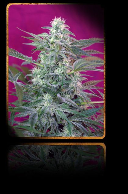 Indica / Sativa: Big Foot