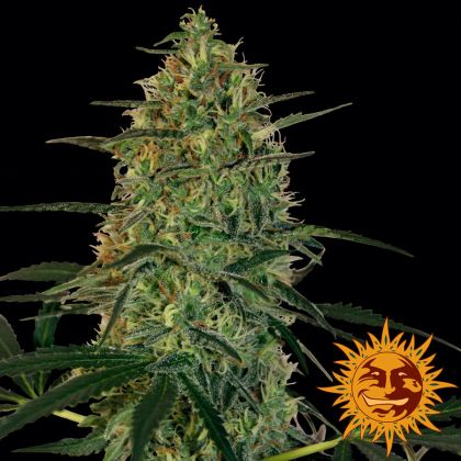 Featured Image of Malana Bomb Auto