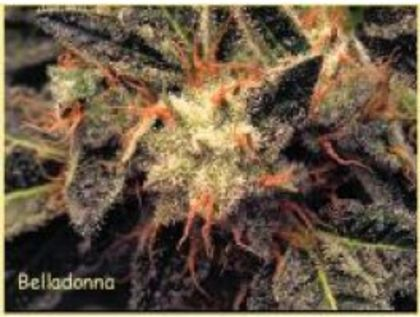 Mostly Sativa: Bella Donna