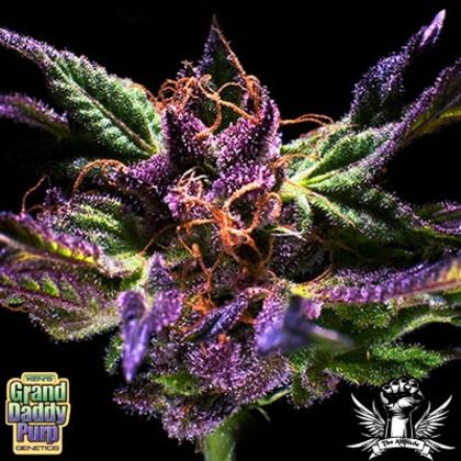 Grand Daddy Purple