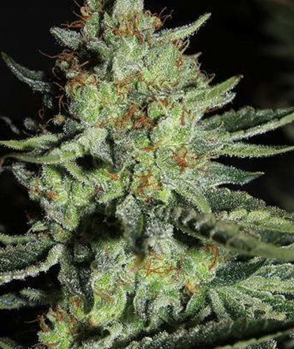 Featured Image of Sour Diesel