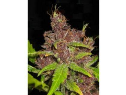 Purple Mazar Autoflowering