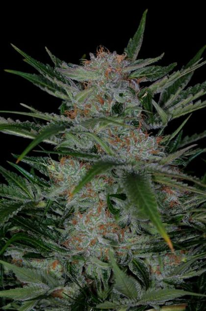 Mostly Indica: Plushberry