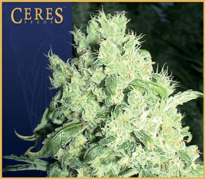 Mostly Indica: White Indica