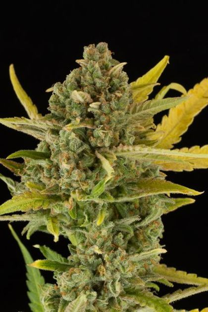 Mostly Indica: Critical Cheese Autoflowering
