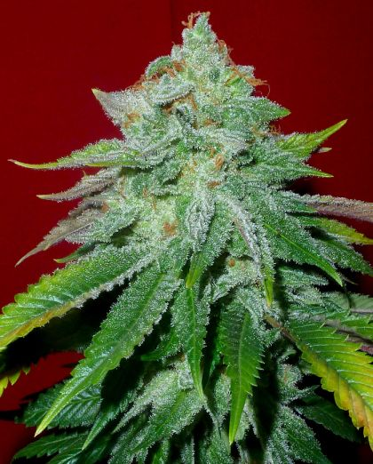 Featured Image of Starlet Kush