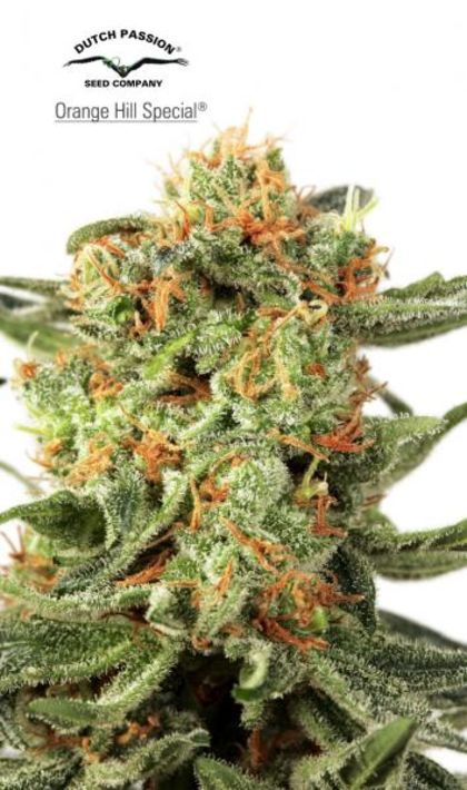 Indica / Sativa: Orange Hill Special