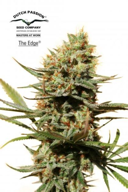 Mostly Sativa: The Edge