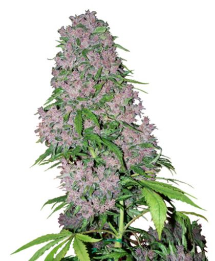 Mostly Sativa: Purple Bud