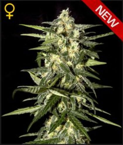 Featured Image of Jack Herer Auto