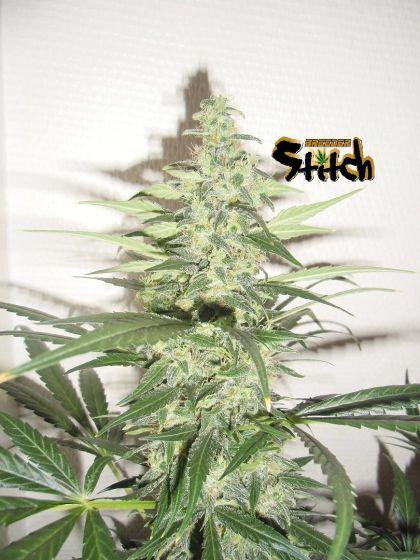 Featured Image of Diesel Haze Autoflowering