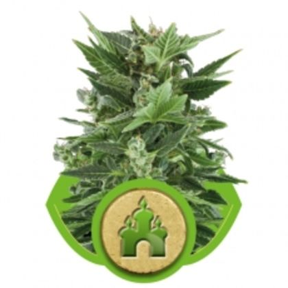 Featured Image of Royal Kush Automatic