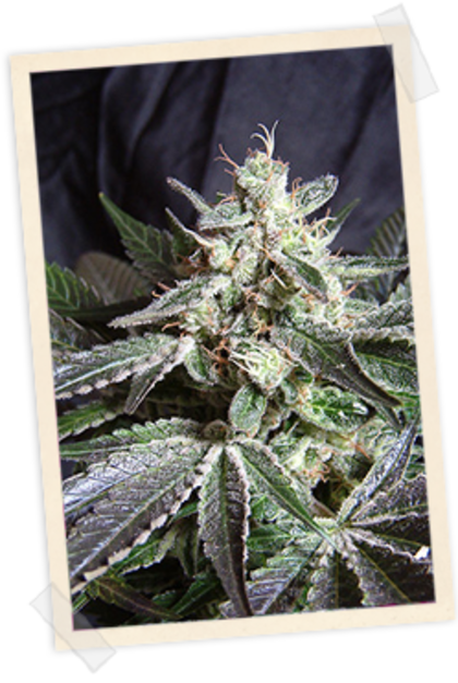 Indica / Sativa: Black Jack Fast Version