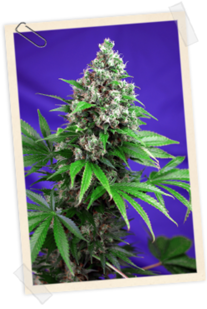 Mostly Indica: Killer Kush Fast Version