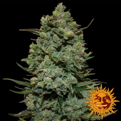 Featured Image of Cookies Kush