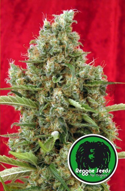 Mostly Indica: Session