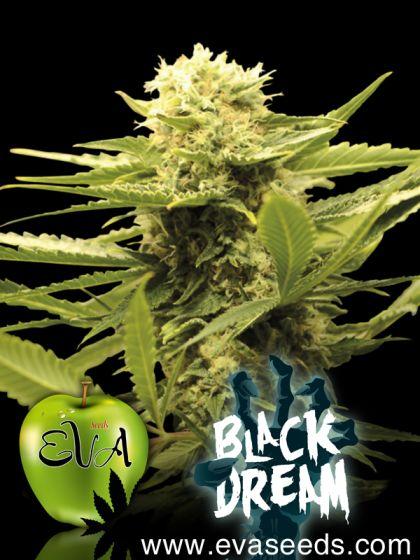 Indica / Sativa: Black Dream