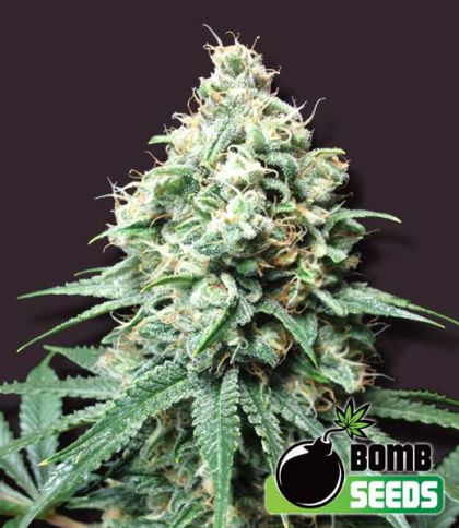 Featured Image of Kush Bomb