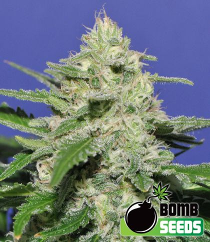 Indica / Sativa: Widow Bomb