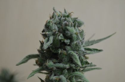 Mostly Indica: White Widow 47